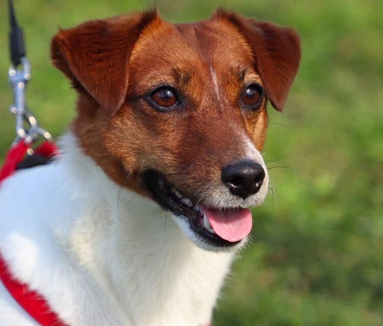 Jack Russell Terrier animali ammessi blackmarlin